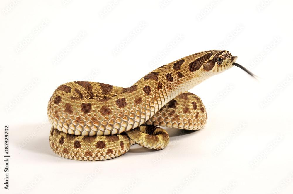 Westliche Hakennasennatter (Heterodon nasicus) - Western hognose snake