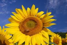 Sunflower Against A Blue Sky W...