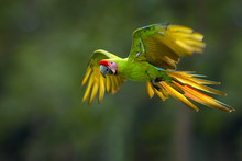 Endangered Parrot, Great Green...