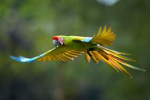 Endangered Parrot, Great Green...