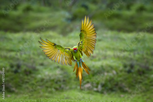 Photo sur Toile Perroquets Endangered parrot, Great green macaw, Ara ambiguus, also known as Buffon's macaw. Green and red tropical forest parrot, landing with outstretched wings against blurred background. Panama.