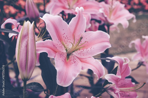 Flower Background Pink Lily In The Garden With Filter Effect Retro Vintage Style