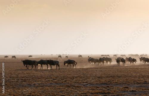 Spoed Foto op Canvas Herd of wildebeest in misty light on african dusty savannah