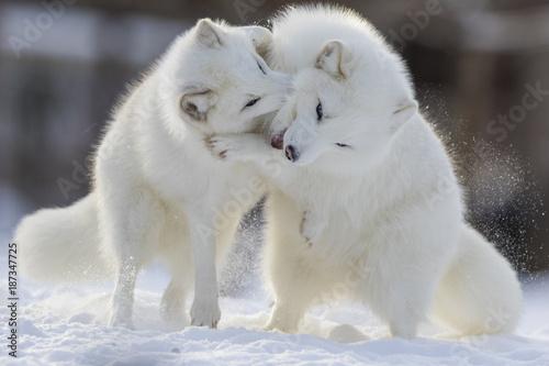 Papel de parede  Arctic fox fighting in winter