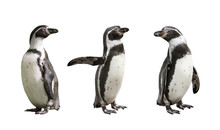 Three Humboldt Penguins On Whi...