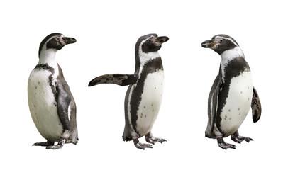 Three Humboldt penguins on white  background isolated