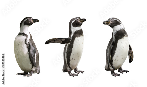 Photo sur Toile Pingouin Three Humboldt penguins on white background isolated