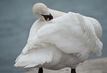 Swan Preening Feathers