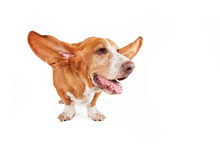 Basset Hound With Her Ears Flying Away Isolated On A White Background