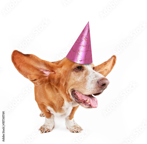 фотографія  basset hound with her ears flying away and a pink birthday party hat on isolated