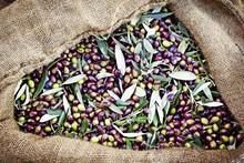 Koroneiki Olives Harvested Int...