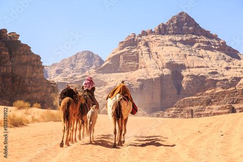 Valokuva  Caravan of camels walking in the Wadi Rum desert in Jordan