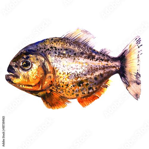 Valokuvatapetti Tropical red piranha, predatory fish, side view, pirahna, isolated, watercolor i