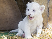 White South African Lion Cub