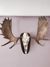 Reindeer Skull As Home Decor