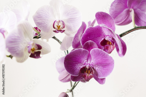 Poster Orchidee orchid