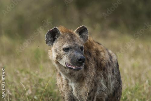 Foto op Aluminium Hyena Hyaena, Kruger