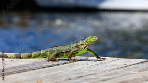 Green iguana running over the pier, water in the background