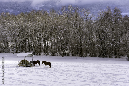 Aluminium Prints Bison Horses in the snowy paddock