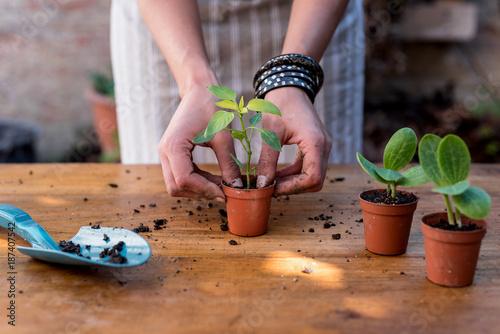 Female gardener planting cacti