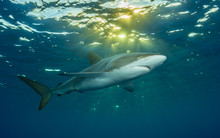 Big Silky Shark