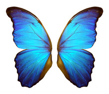 Wings Of A Butterfly Morpho. Morpho Butterfly Wings Isolated On A White Background.