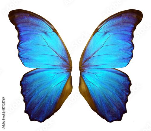 Poster Vlinder Wings of a butterfly Morpho. Morpho butterfly wings isolated on a white background.