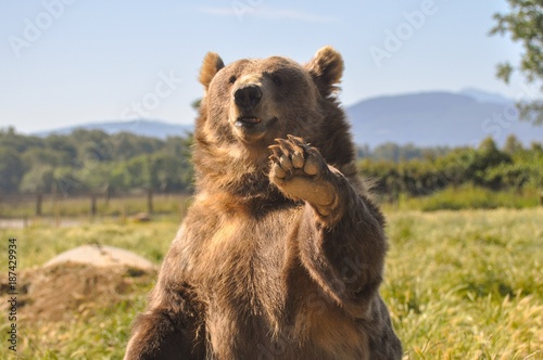 Fototapeta Brown Bear Waving