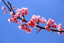 Sakura, Cherry Blossom On Blue Sky