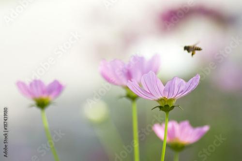 Fototapety, obrazy: bee on cosmos flower