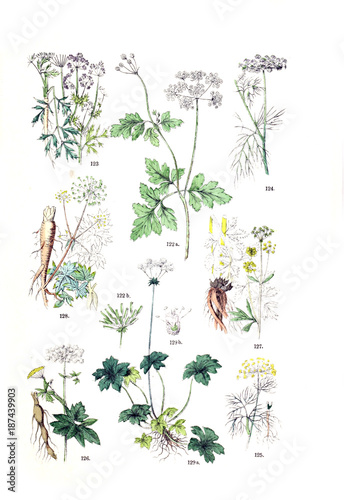 Photo  Illustration of the plant.