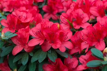 proljeće cvjetaju bujni svježi cvjetovi rododendrona azaleje