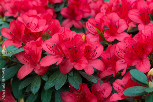 Canvas Prints Azalea spring blooming lush fresh rhododendron azalea flowers