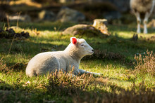 Young Spring Lamb Resting On A...