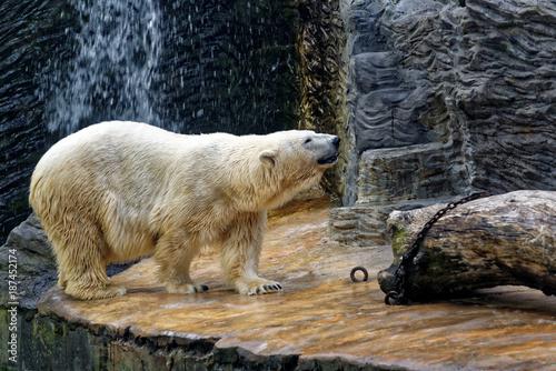 Fotomural Polar bear in a zoo enclosure