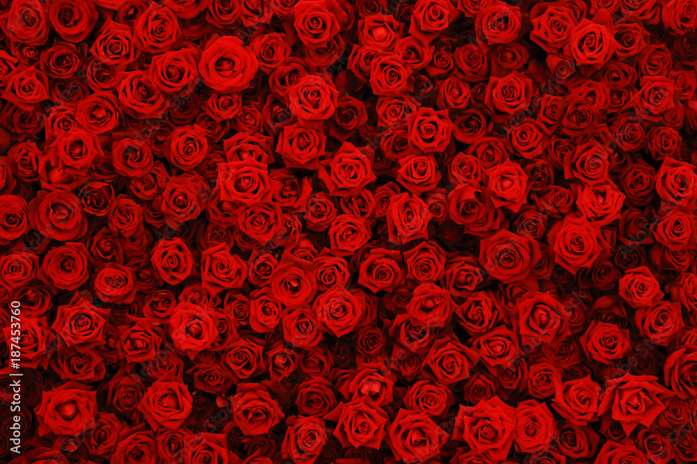 Fototapety, obrazy: Natural red roses background, flowers wall.