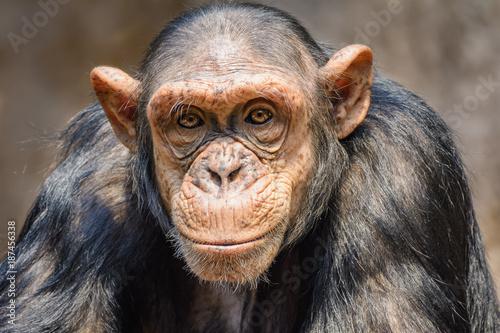 Fotografie, Tablou Portrait of a chimpanzee