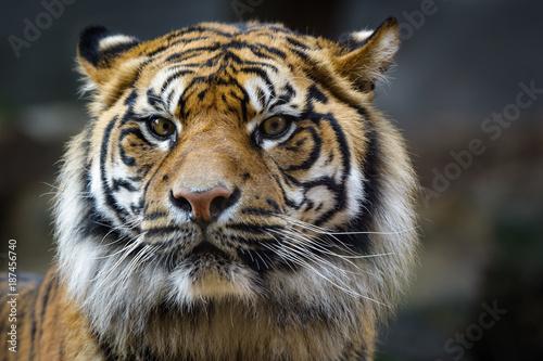 In de dag Tijger Sumatra tiger