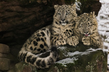 Snow Leopard Cubs Sitting On A...