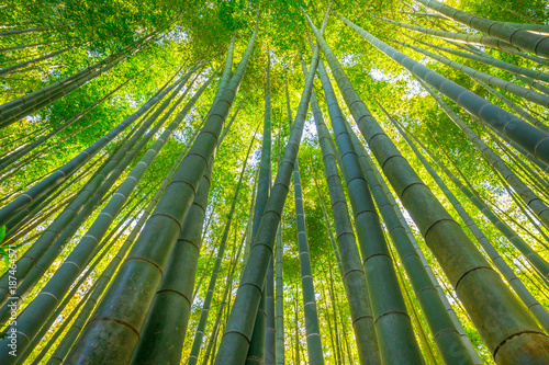 Foto op Plexiglas Bamboe Green bamboo background. From the bottom to the top view of grove of bamboo garden. Take-dera Temple or Hokoku-ji Temple in Kamakura, Japan. Meditative and buddhism concept.