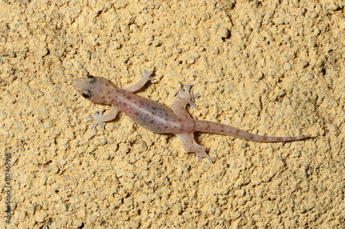 Asiatischer Hausgecko (Hemidactylus frenatus) - Common house gecko / Sri Lanka