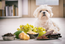 Little Dog And Food Toxic To Him