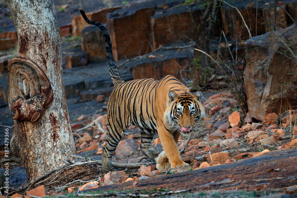 Indian tiger, wild danger animal in nature habitat, Ranthambore, India. Big cat, endangered mammal, nice fur coat. End of dry season, monsoon. Bengal tiger walking in old dry forest. Hidden in forest.