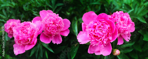 Foto op Plexiglas Roze Panoramic image of pink peonies on a green background in the garden
