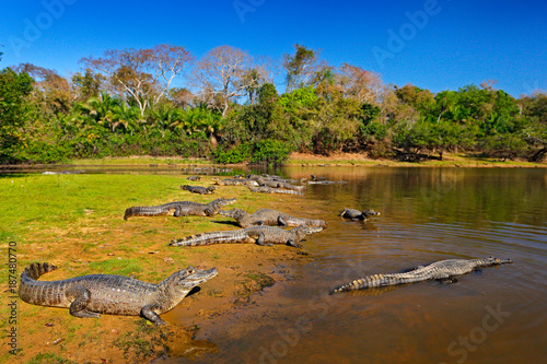 Caiman, Yacare Caiman, crocodiles in river surface, evening with blue sky, animals in the nature habitat. Pantanal, Brazil. Caimans, water landscape with trees. Wildlife scene from Brazil nature.