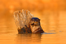 Giant Otter, Pteronura Brasili...