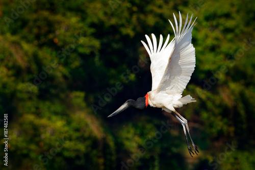 Fotografie, Obraz  Jabiru stork fly