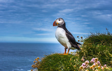 Puffins On The Latrabjarg Clif...