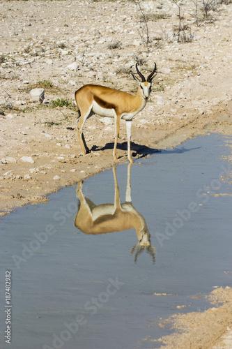 Antelope Springbock am Wasserloch in Namibia