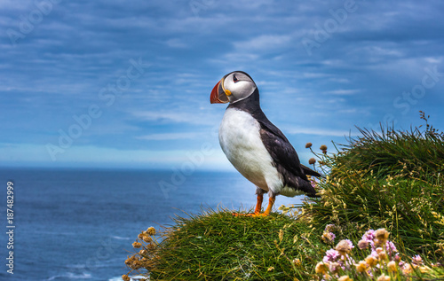 Puffins on the Latrabjarg cliffs, Western Fjords, Iceland Wallpaper Mural